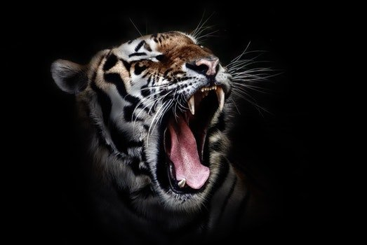 Photo of a Tiger Roaring