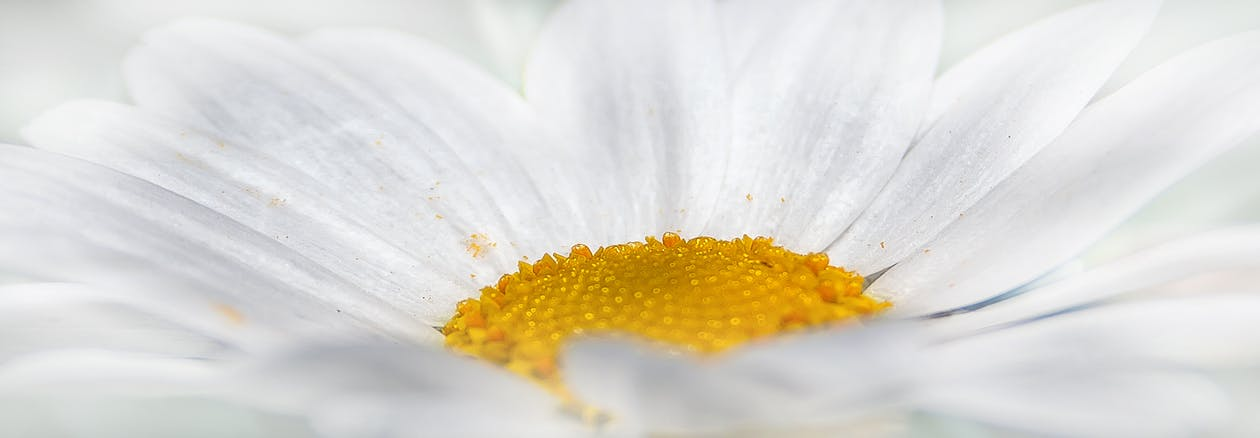 Close-up Photography of White Daisy Flower