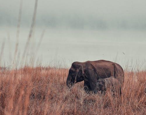 Elefante Marrón Con Elefante Bebé En Campo De Hierba Marrón