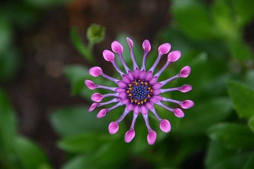 Ingyenes stockfotó makró, növényvilág, szirmok, szoprán lila kanál témában