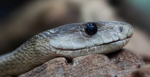 Imagine de stoc gratuită din animal, fotografie de aproape, prim-plan, șarpe
