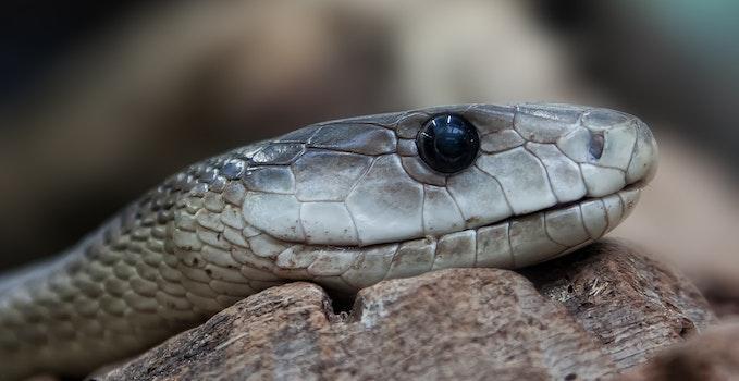 Free stock photo of animal, reptile, macro, close-up