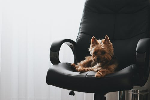 Brown Long Coated Small Dog on Black Leather Armchair