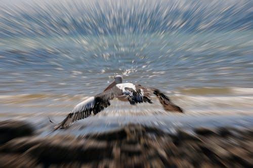 Foto profissional grátis de pelicano em pleno voo