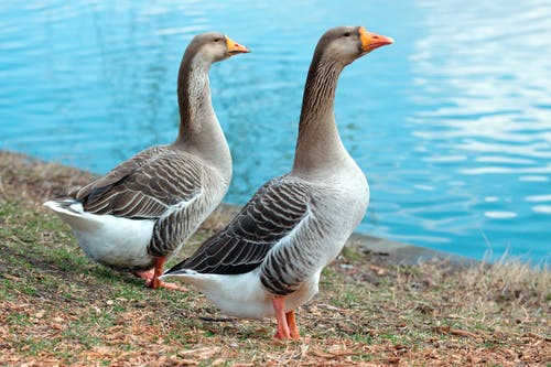 Geese Near Body Of Water