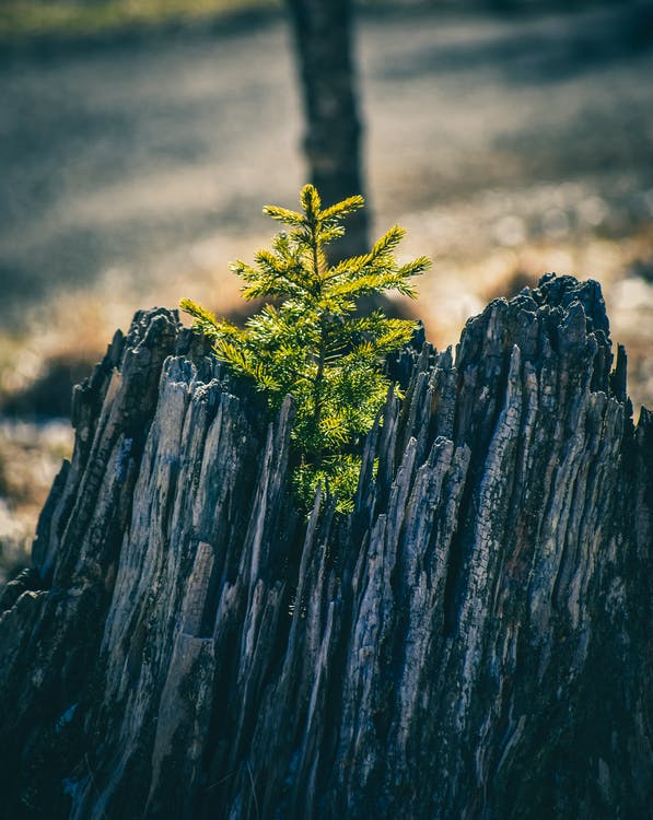 Young fragile green fir tree growing on old rotten trunk in sunny forest