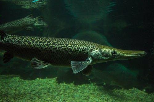 Gratis arkivbilde med akvarium, alligator, alligatorfisk