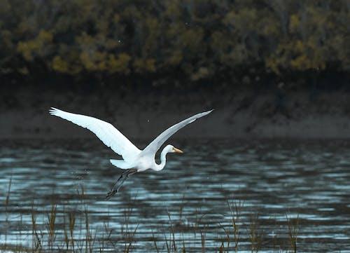 White Bird Flying over Body of Water