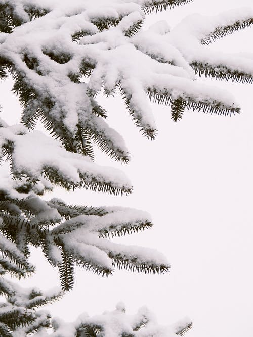 Free stock photo of art photo, beautiful, cold, fir