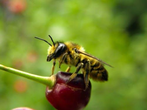 Foto d'estoc gratuïta de abella, baia, cirera, insecte