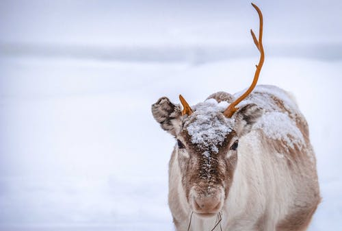 Lonely wild reindeer with broken antler grazing on empty terrain covered by snow on winter day