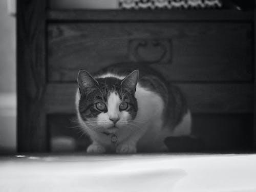 Photos gratuites de chat tigré