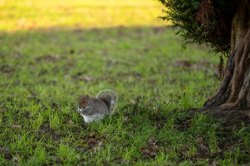 Brown Squirrel on Green Grass Field