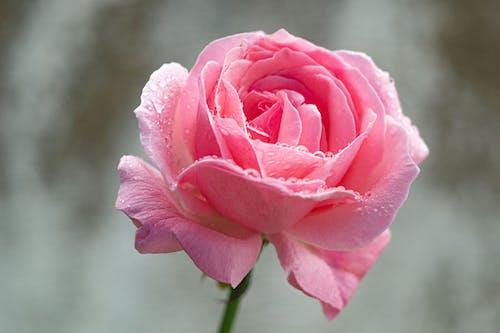 Rosa Rosa Em Flor