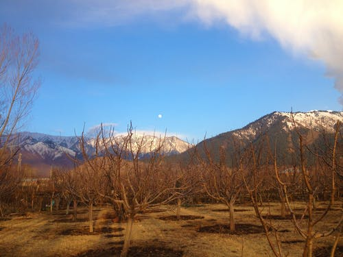 Free stock photo of apple trees, blue sky, day moon
