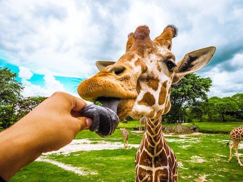 Gratis stockfoto met Afrika, afrikaanse dieren in het wild, beest, bomen