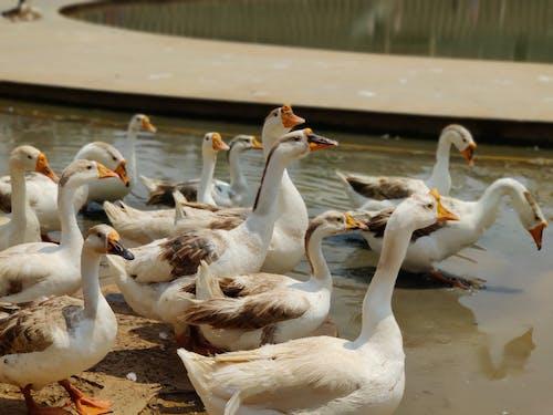 Free stock photo of animals, ducks, family