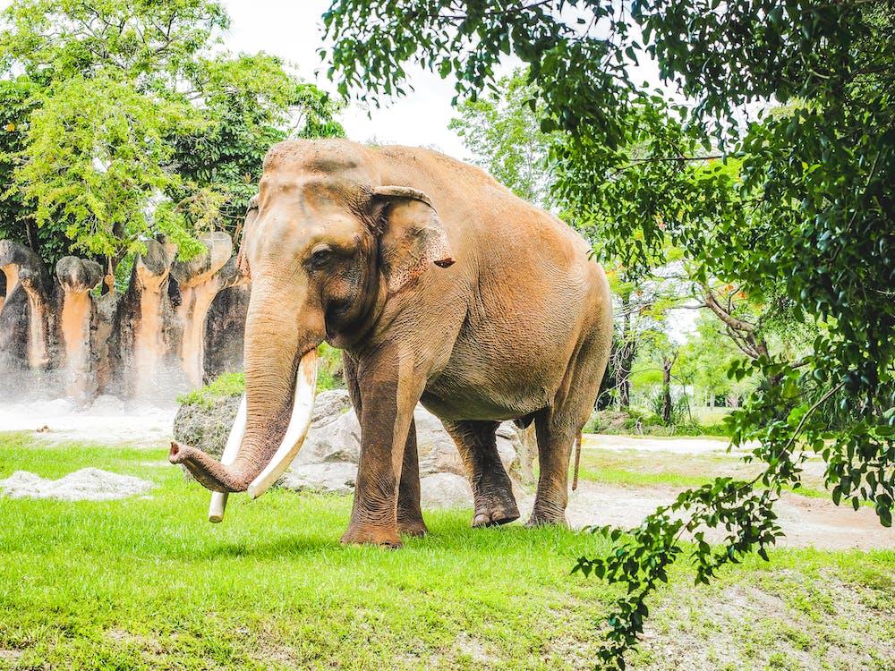 Kostenloses Stock Foto zu african wildlife, afrika, afrikanischer elefant