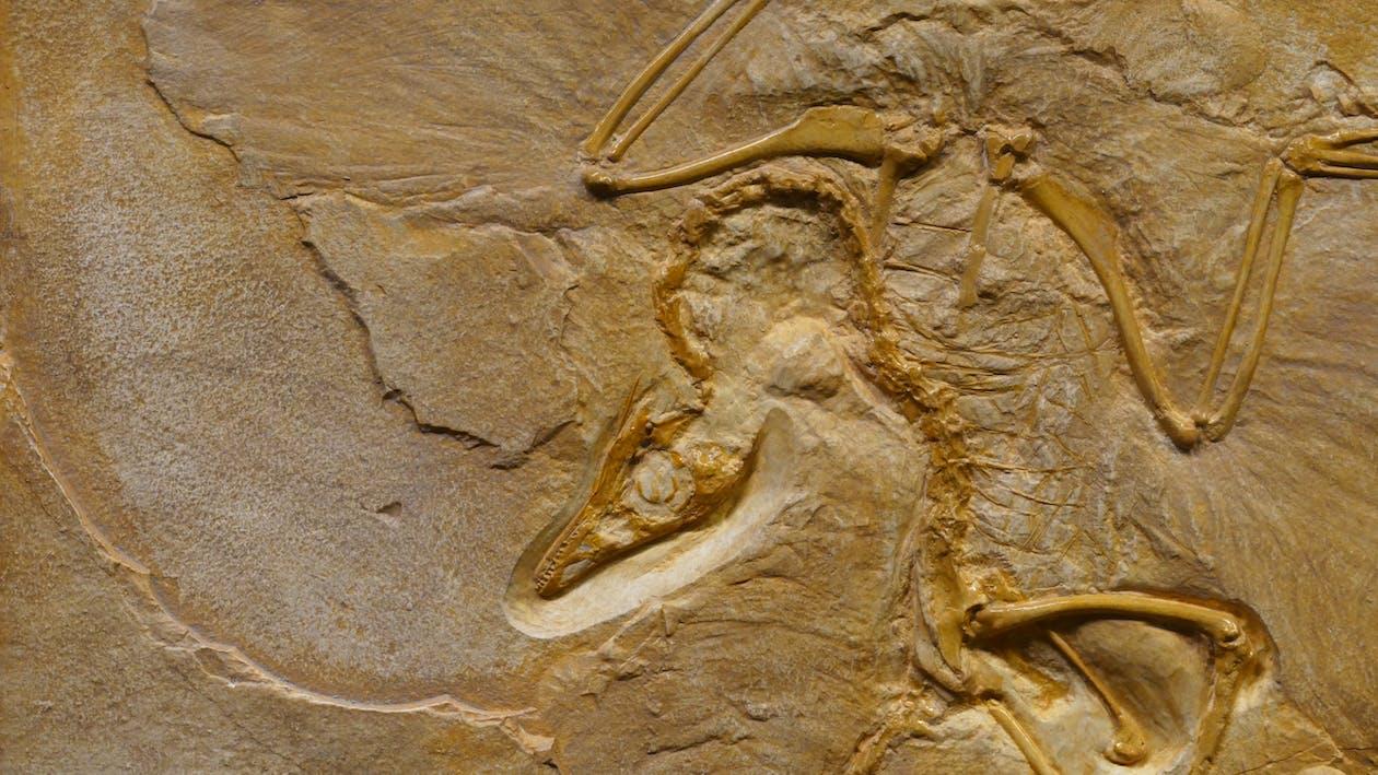 Fósil De Dinosaurio En Formación De Piedra Rugosa