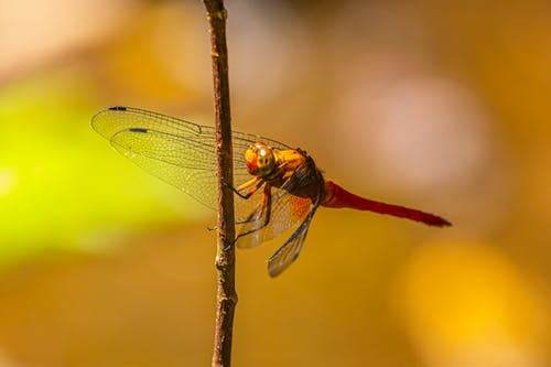 Brown and Black Dragonfly Perched on Brown Stem in Close Up Photography