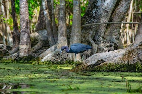 Free stock photo of Little Blue Heron