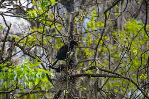 Free stock photo of Nesting Cormorants