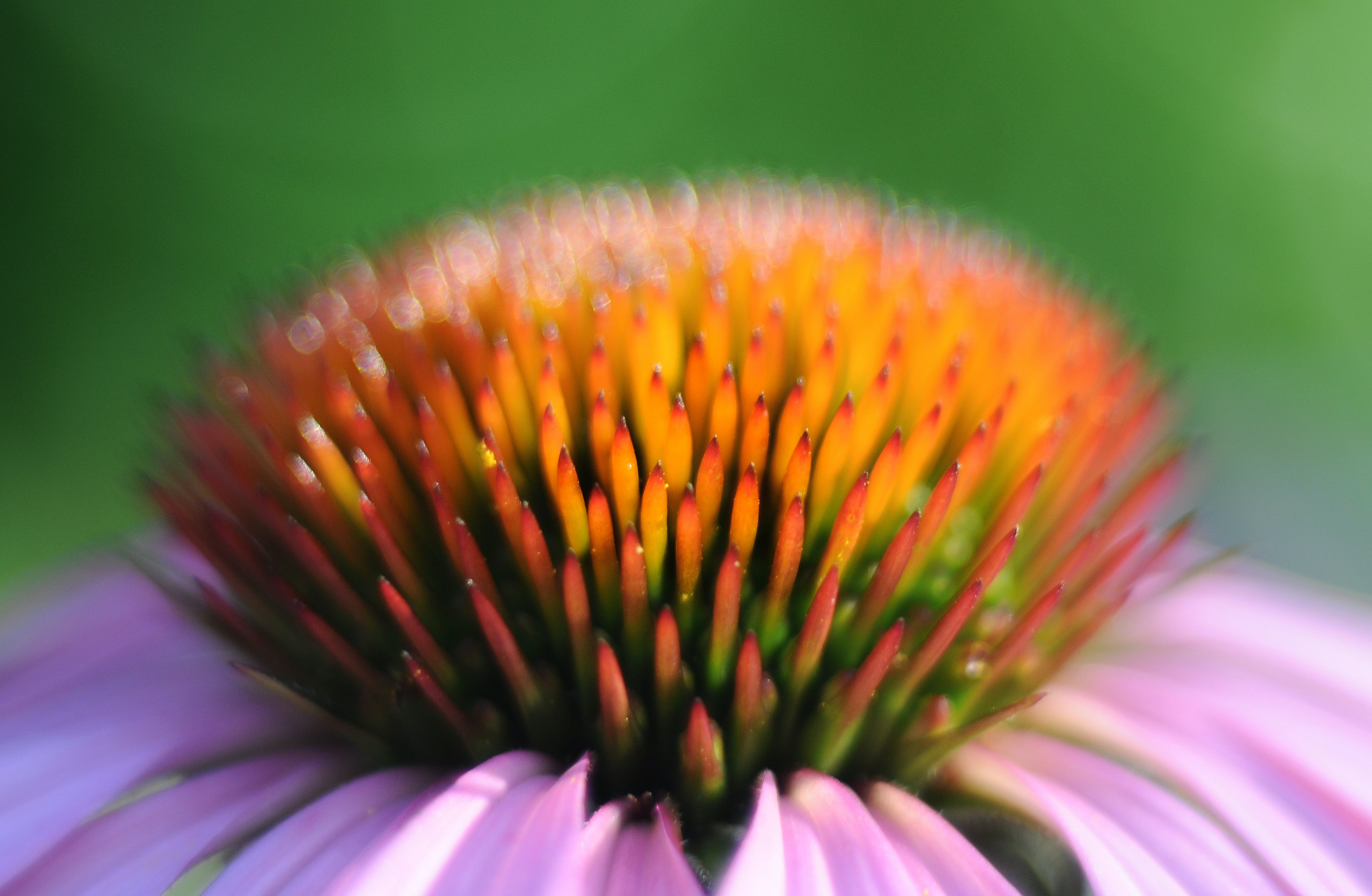 Macro Photography of Purple Coneflower
