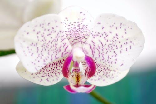 Darmowe zdjęcie z galerii z orchidea