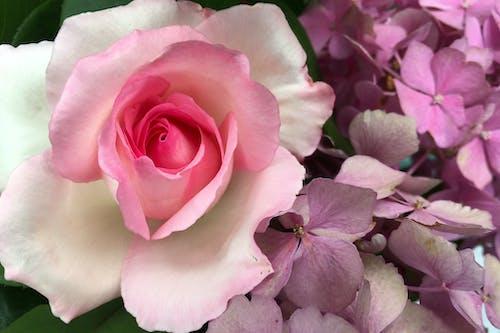 Darmowe zdjęcie z galerii z róża
