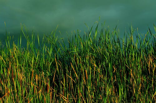 Free stock photo of dark clouds, reeds