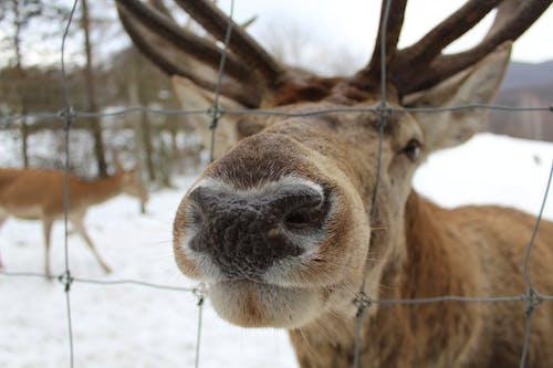 Безкоштовне стокове фото на тему «допитливий, зима, коричневий, лось»