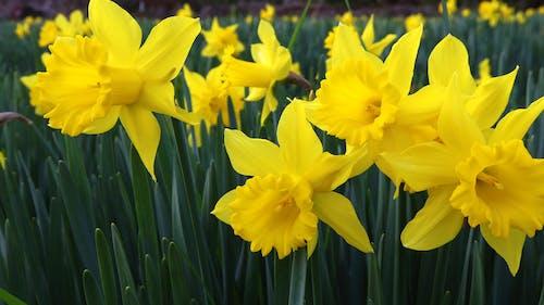Free stock photo of daffodils, yellow