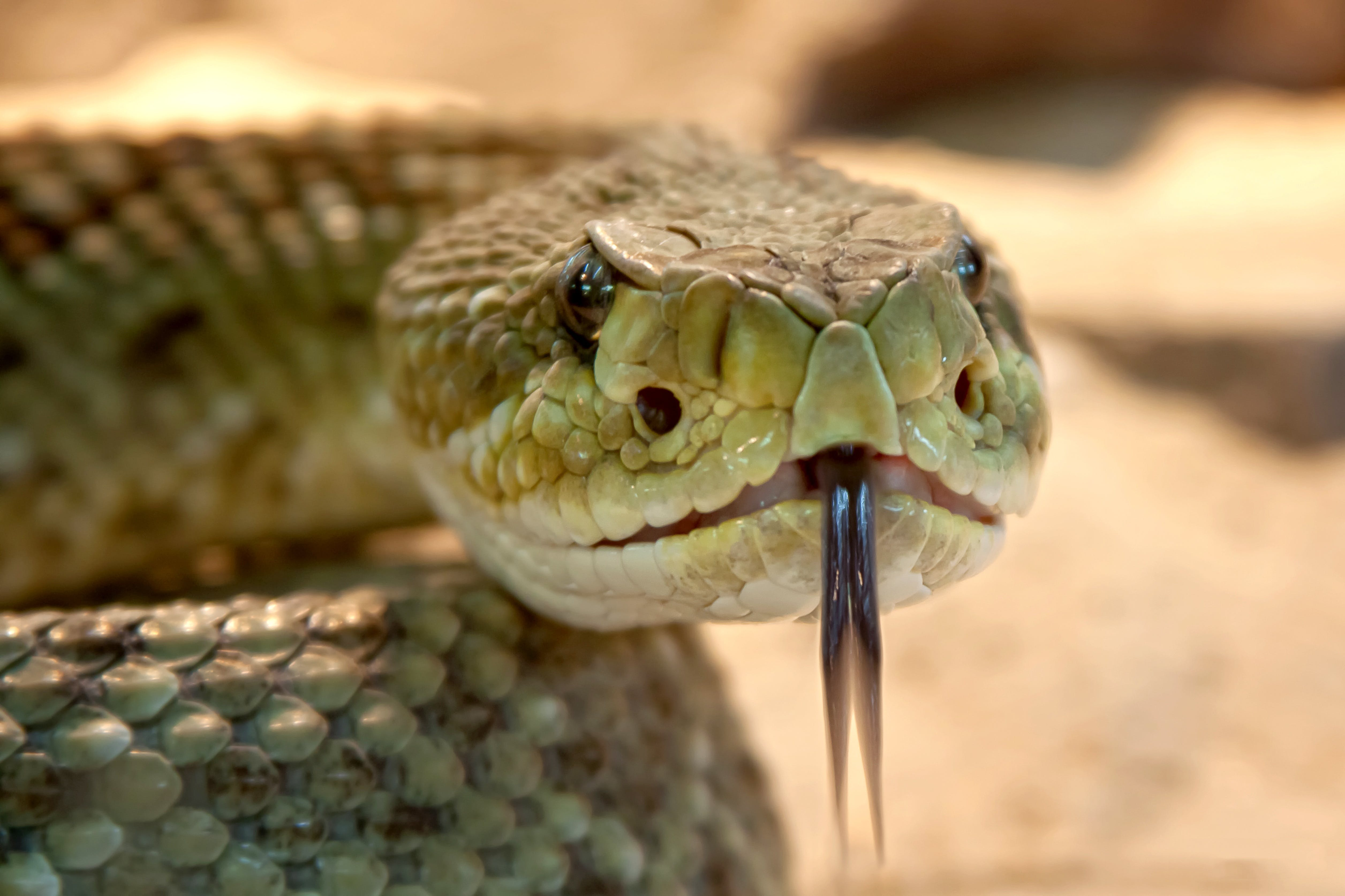 Shallow Focus Photography of Gray Snake With Black Tongue