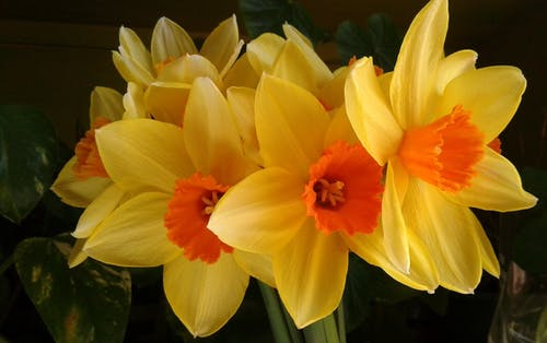 Free stock photo of daffodils, flowers, yellow flowers