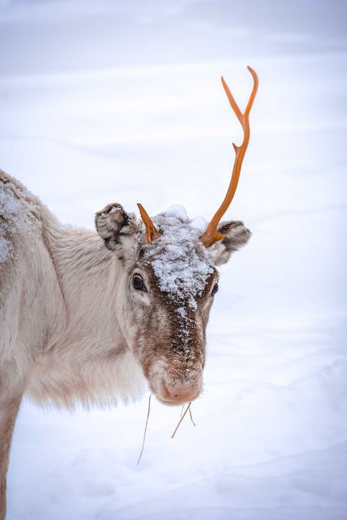 Deer with different sizes horns in snowy countryside