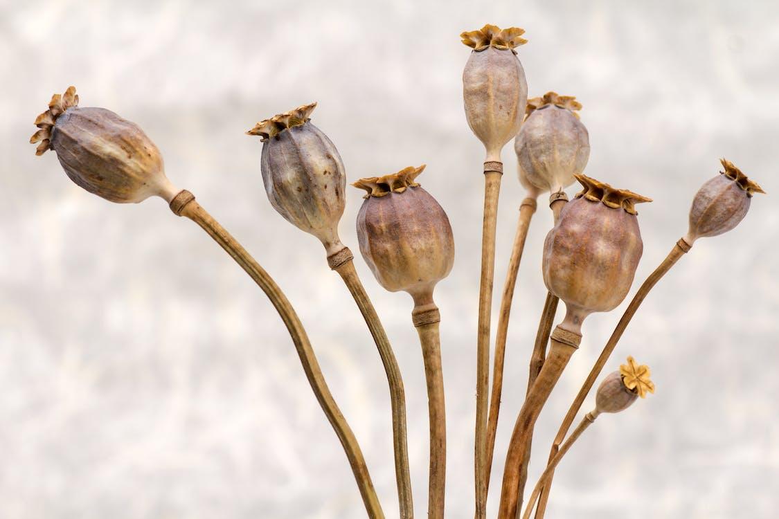 flora, mak, makowe kapsułki
