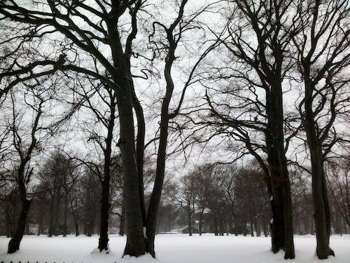 Free stock photo of trees, winter