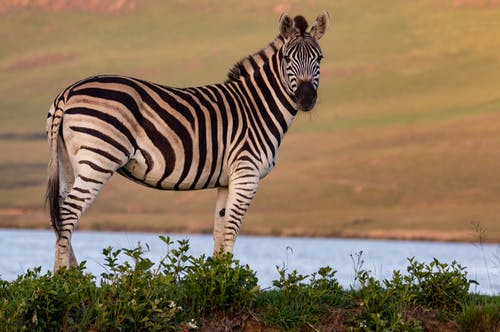 Zebra Standing on Grass