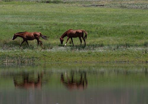 Foto d'estoc gratuïta de a l'aire lliure, agricultura, aigua, animals