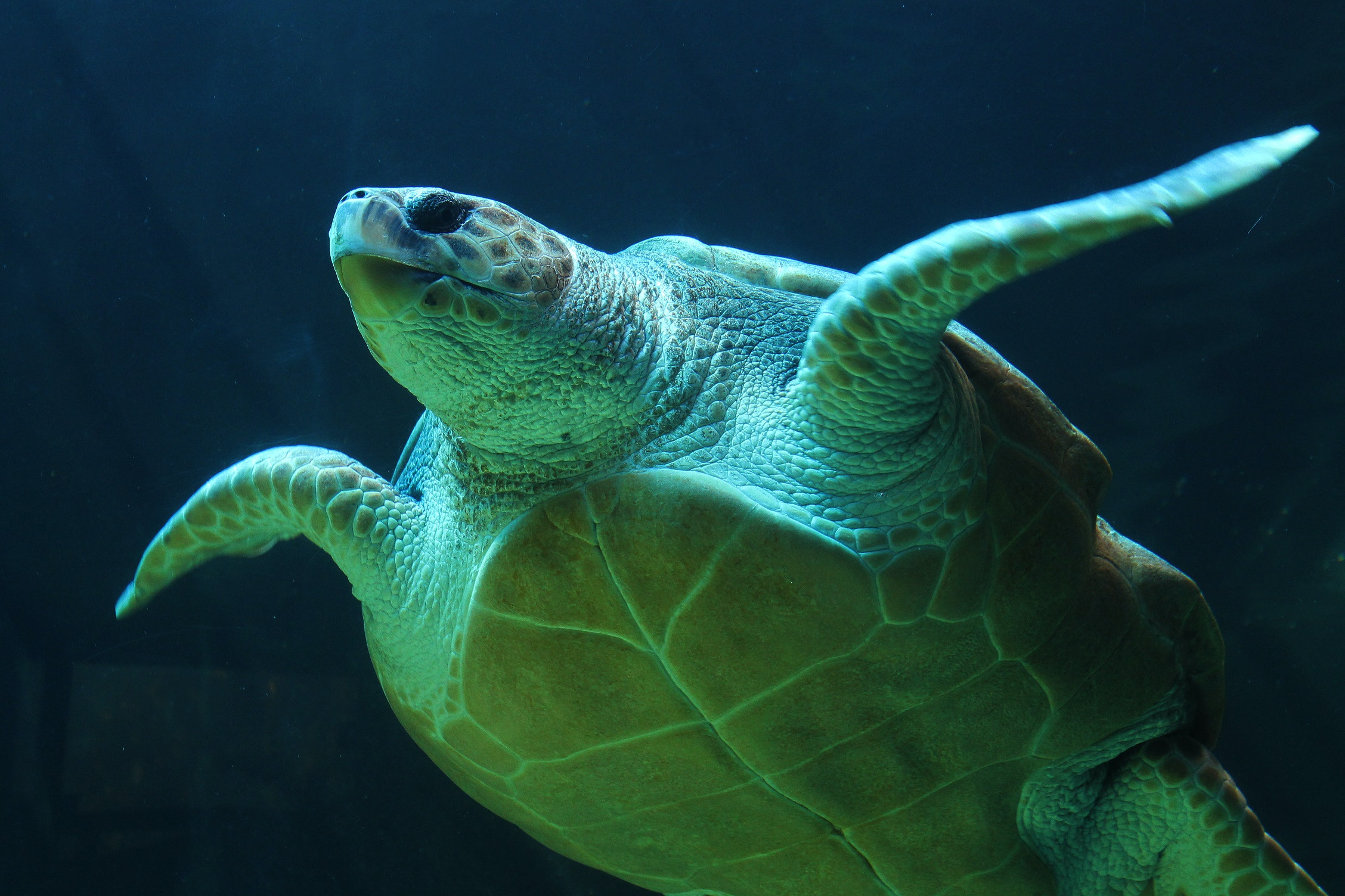 gray and green turtle swimming on water 183 free stock photo