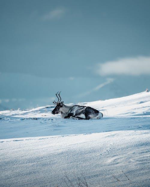 冬季, 北挪威, 挪威, 馴鹿 的 免費圖庫相片