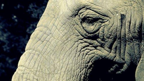 Free stock photo of elephant