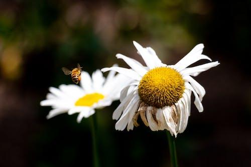 Free stock photo of bee, margarita flower