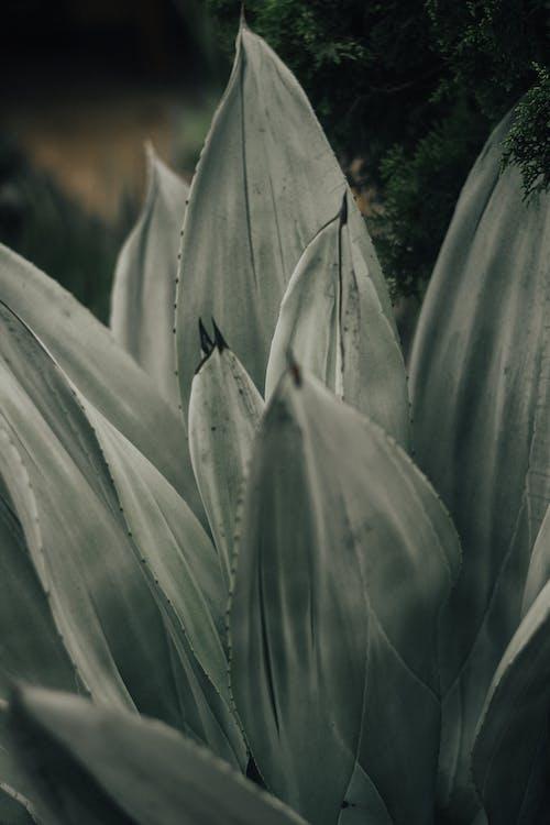 アガベ, 多肉植物, 工場の無料の写真素材