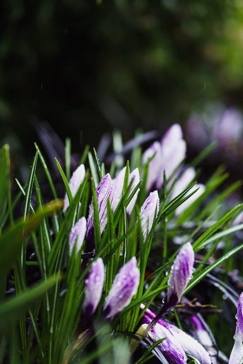 Free stock photo of crocus, flowers, garden