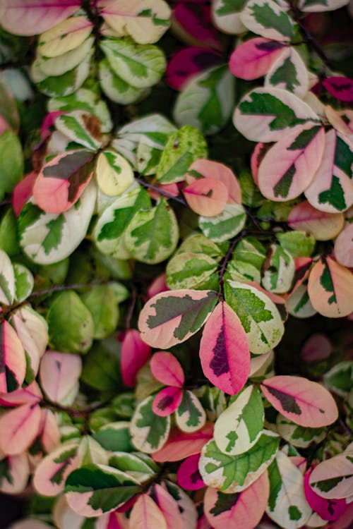 Houttuynia cordata chameleon plant with bright leaves