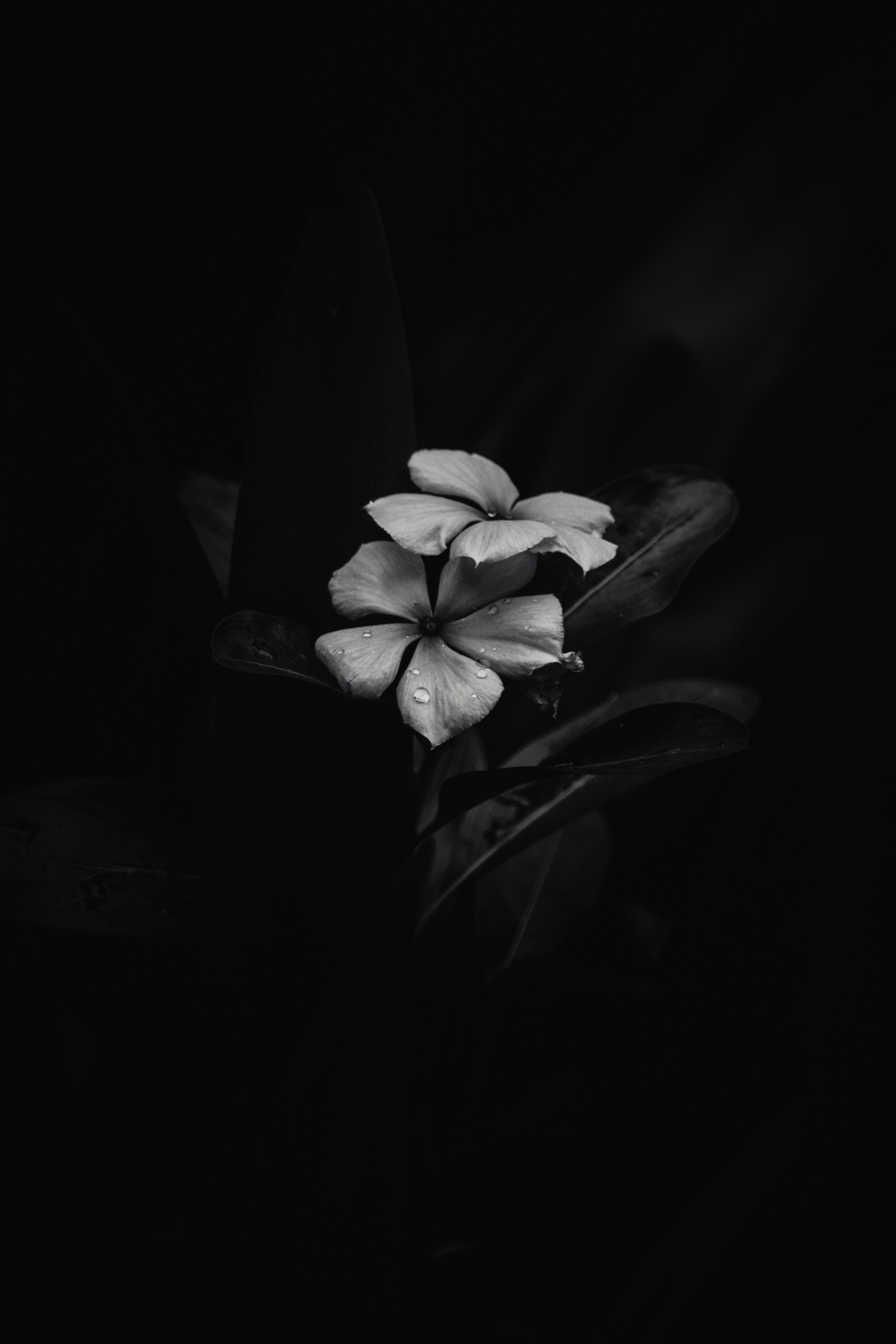 Grayscale Photo Of Flower With Black Background Free Stock Photo