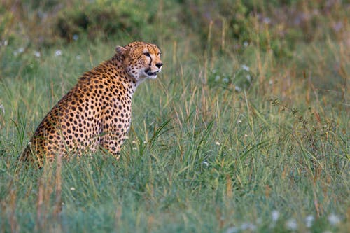 Photo of Cheetah on Green Grass Field