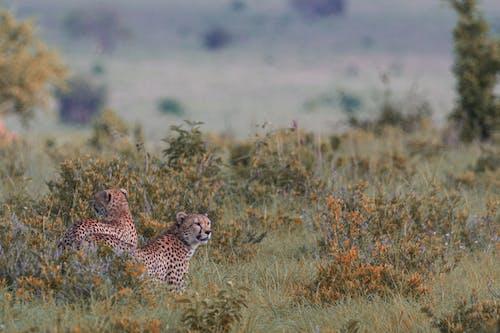 Graceful wild leopards on grassy savanna
