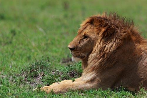 Foto stok gratis berbahaya, binatang, binatang buas, binatang liar